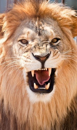 white lion: picture of lion of high-res with an artistic background