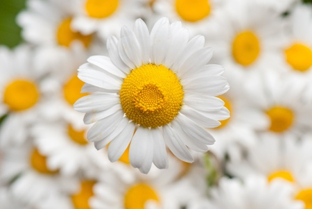 matricaria: Matricaria, camomile. beautiful background of fresh flowers photographed in the studio