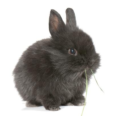 Small racy dwarf black bunny isolated on white background. studio photo. photo