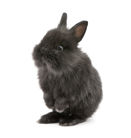 Small racy dwarf black bunny isolated on white background. studio photo. Stock Photo