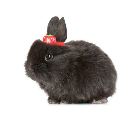 Small racy dwarf black bunny isolated on white background. studio photo. Stock Photo - 10701591