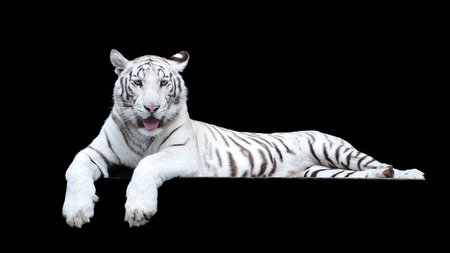 picture of Tiger  albino of high-res with an artistic background