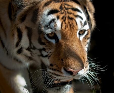 imagen de Tiger de alta resoluci�n con un fondo art�stico Foto de archivo - 10707003