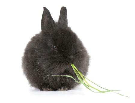 Petit lapin nain noir rac� isol� sur fond blanc. studio photo. Banque d'images - 11893733