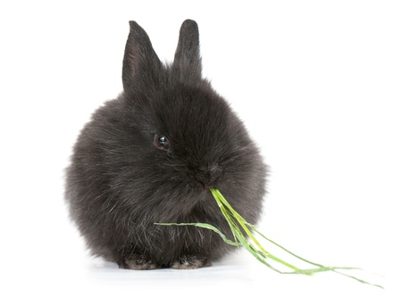 Petit lapin nain noir racé isolé sur fond blanc. studio photo. Banque d'images - 11893733