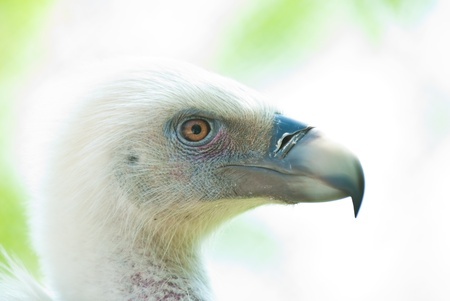thieving: Photo condor close up on an abstract background