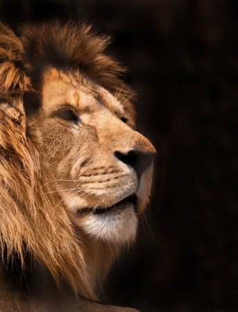 dangerous lion: picture of lion of high-res with an artistic background