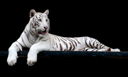 albino: picture of Tiger  of high-res with an artistic background