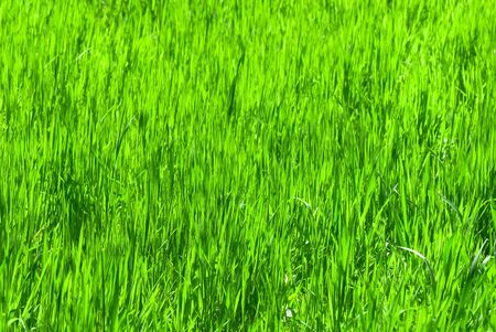 field covered with a young grass Stock Photo