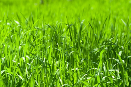 field covered with a young grass Stock Photo - 12587644
