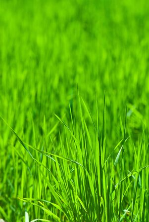 field covered with a young grass Stock Photo - 12587445