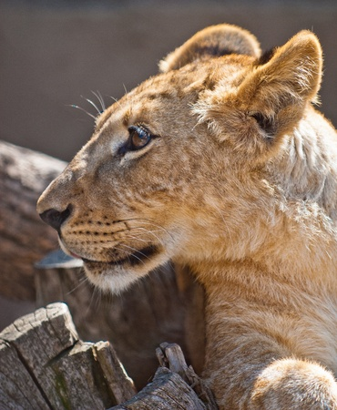 picture of Lion Cub  of high-res with an artistic background Stock Photo - 12587957