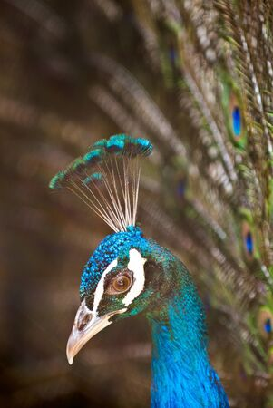 Beautiful male of peacock with a open tail Stock Photo - 12588007
