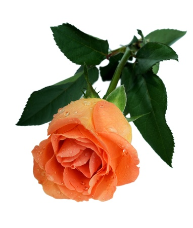 peach rose in dew drops on white background Stock Photo - 11106379