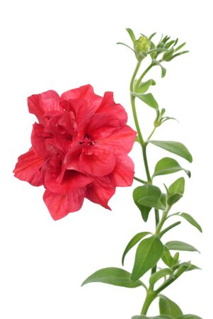 red petunia on white background