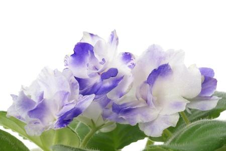 saintpaulia on white background  photo