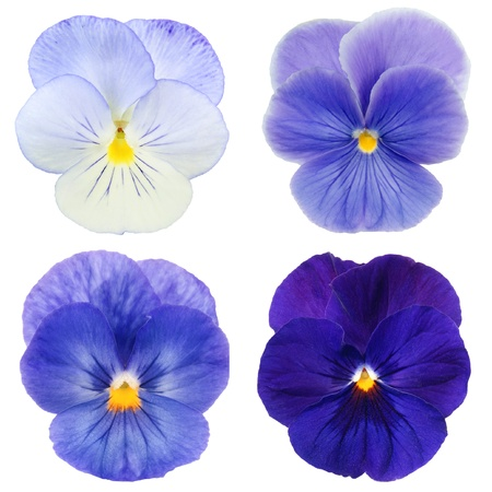 set of blue pansy on white background  photo