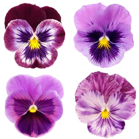at ease: set of purple pansy on white background