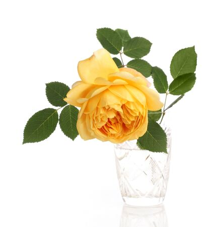 english rose: yellow english rose in crystal glass on white background
