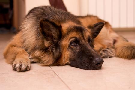 german shepherd inside house