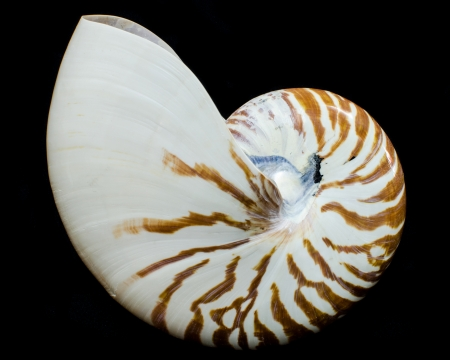 logarithmic: Chambered Nautilus shell isolated on black  Stock Photo