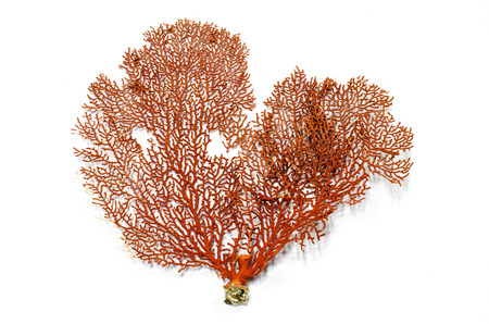 Red Gorgonian or red sea fan coral isolated on white  photo