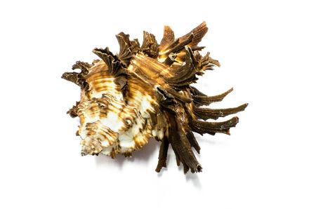 murex shell: Japan Murex or Radix Murex sea shell isolated on white
