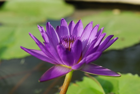 lotus in pots.