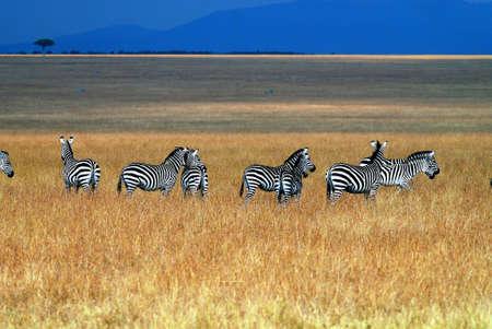 Wildlife v Masai Mara Reklamní fotografie