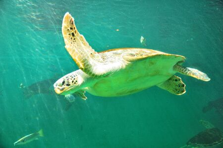 Sea turtles  Stock Photo - 13662656