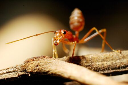 red ant Stock Photo - 14947255
