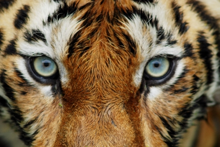 kenya: close up of tiger face Stock Photo