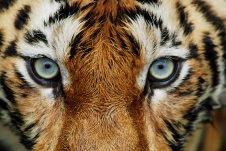 safari game drive: Primo piano del volto della tigre