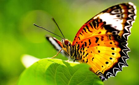 beautiful butterfly with green background