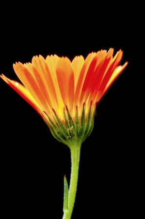květina v černém pozadí