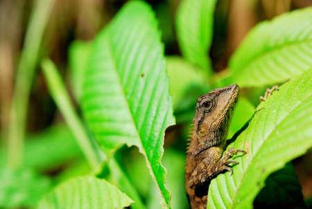 Chameleon hiding under the leaves Reklamní fotografie