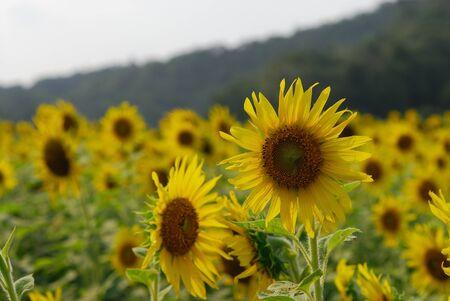Sunflower zahrada