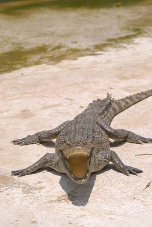 resting crocodile at crocodile farm in Thailand