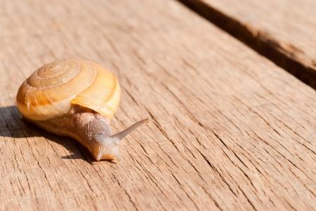 snail climb on  the wood