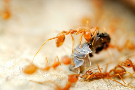 Ant try to move victim back to nest Stock Photo