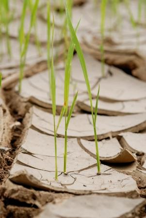 Mladí plodiny rostoucí na popraskané půdě