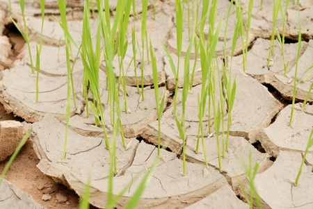 young crops growing on cracked soil  Stock Photo