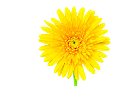 Beautiful daisy gerbera flower isolated on white background photo