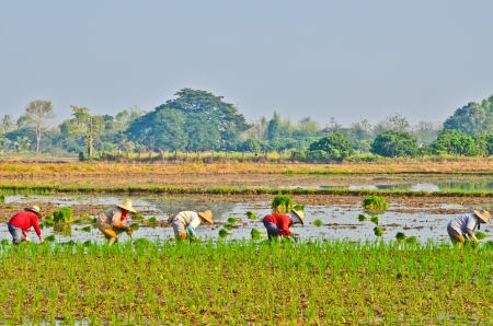 Farmers are planting rice in the farm. photo