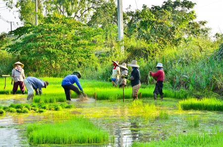 Many farmers work on a rice farm photo