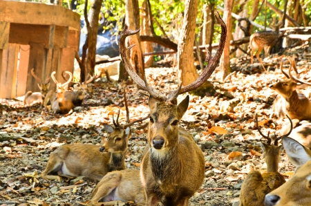 Deer in the Chiang Mai Zoo  photo