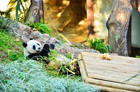 Panda eating bamboo  photo