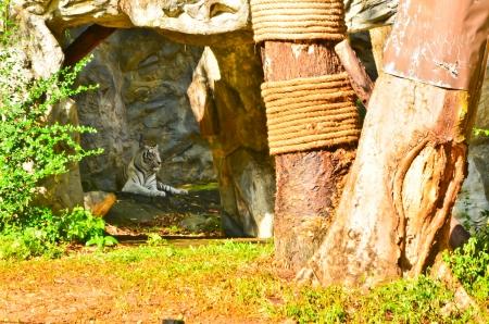 White tiger in Chiangmai Zoo Stock Photo - 17085744
