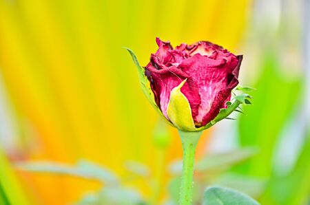 Dried red rose.