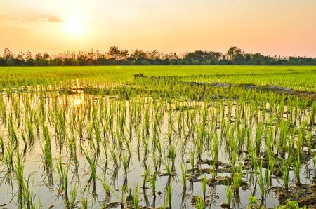 Planting rice  in evening  photo